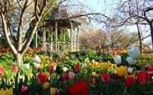 Tulip festival in Bowral